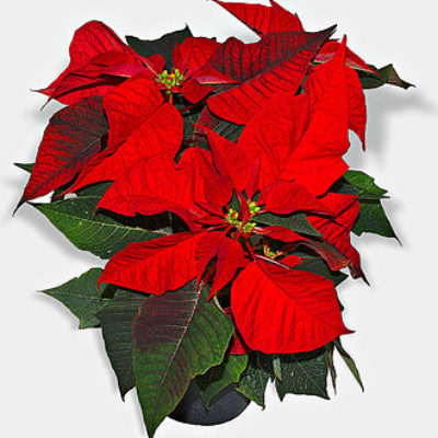 Memorial Poinsettia Tradition PCPC